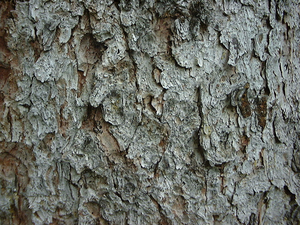 White Spruce Tree Bark | www.imgkid.com - The Image Kid ...